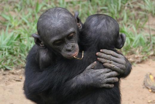 Bonobo Consolation